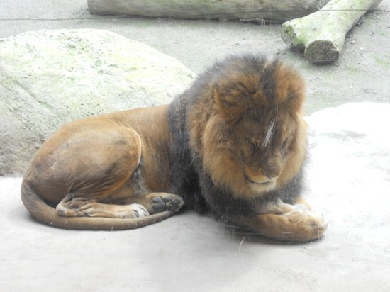 Zoo Wuppertal: Gnarly Lion