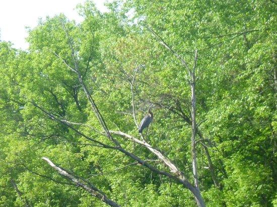Dundas, MN: Great Blue Heron