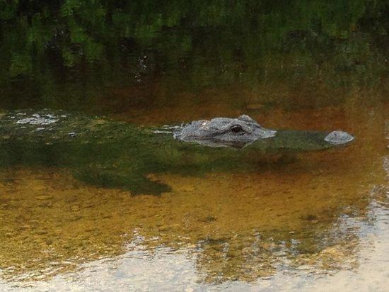 Jungle Erv's Everglades Airboat Tours : Big Gator