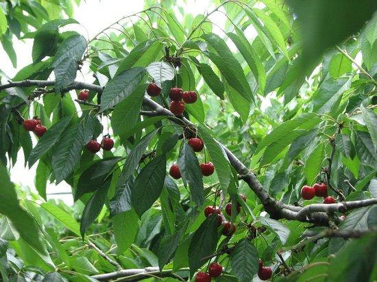 Terhune Orchards & Winery: Cherry