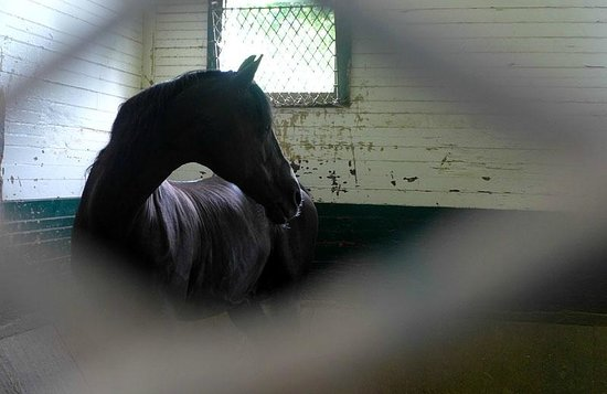 UVM Morgan Horse Farm: mother (with her baby in the barn)