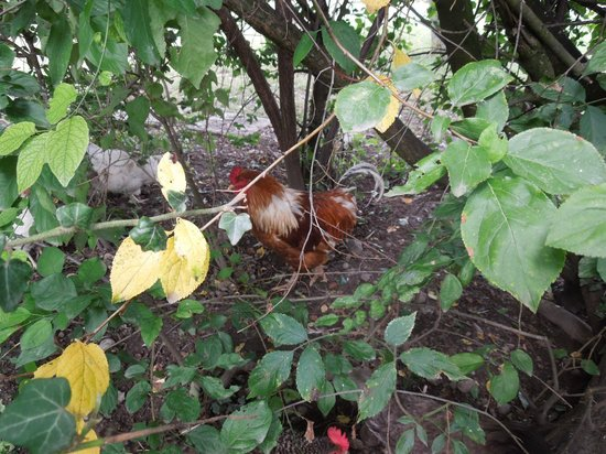 Chichens & roosters behind the cottage - BnB Atelier de St. Maurice - Sep 1 2012