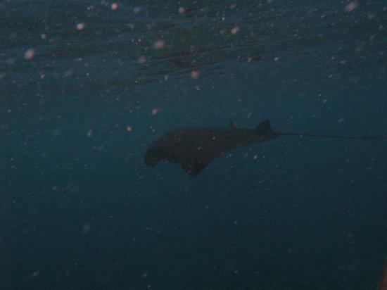 Bali Breizh Divers: raie manta