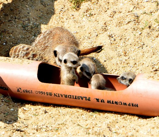 Suffolk Owl Sanctuary: The baby Meerkats venture out of the safety of their 'pipe'