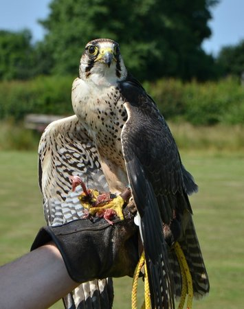 Suffolk Owl Sanctuary: This Comet the Peregrine Falcon, at rest after his flying display.