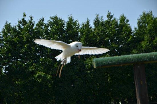 Suffolk Owl Sanctuary: Comet, the Barn Owl enjoys her flying display!