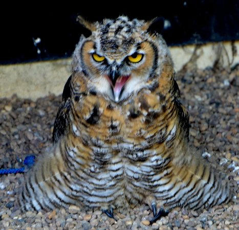 Suffolk Owl Sanctuary: I am not sure which Owl this is :(