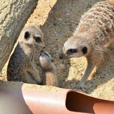 Suffolk Owl Sanctuary: Mum, Dad and Baby Meerkat~wonderful to watch