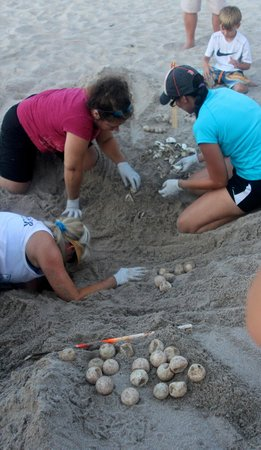 Loggerhead Marinelife Center: Unfertilized leatherback eggs in foreground; hatched above the volunteers in the sand.