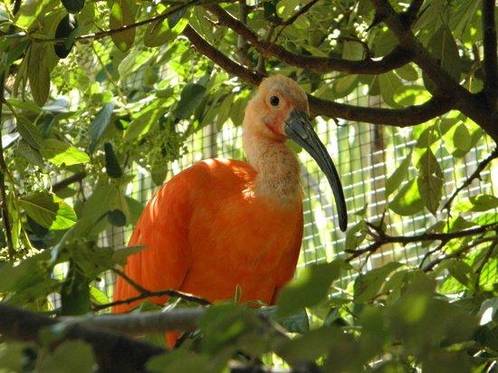 Le Jardin Aux Oiseaux : L'ibis rouge