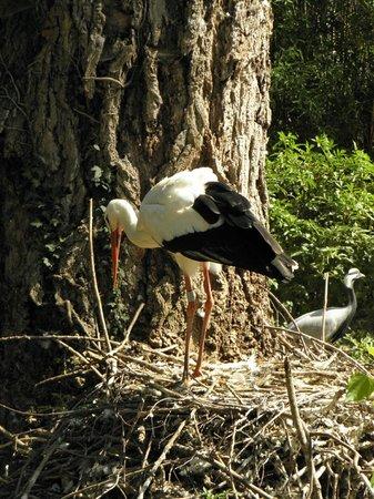 Le Jardin Aux Oiseaux : La Cigogne en plein travail - la conception de son nid