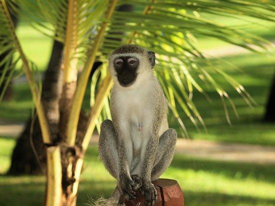 Voyager Beach Resort: Monkey on my patio!