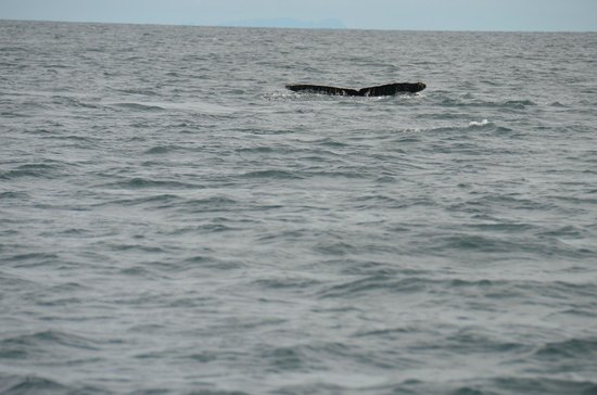 Whale Watching Panama: Tail 2