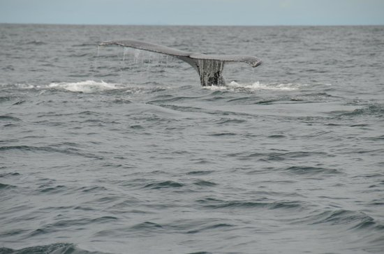Whale Watching Panama: Tail