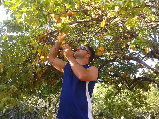 La Garita Bed and Breakfast : picking star fruit right off the tree