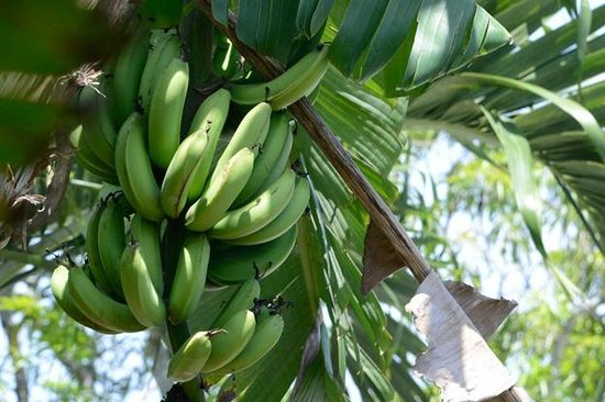 Judy House Cottages and Rooms: Bananas on the property!
