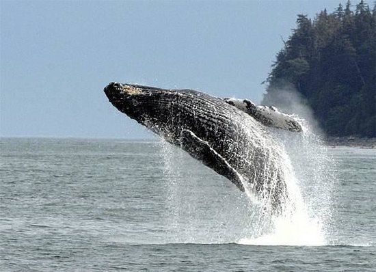 Adventures in Alaska: A Humpback whale breaching. It doesn't happen often but it is spectacular.