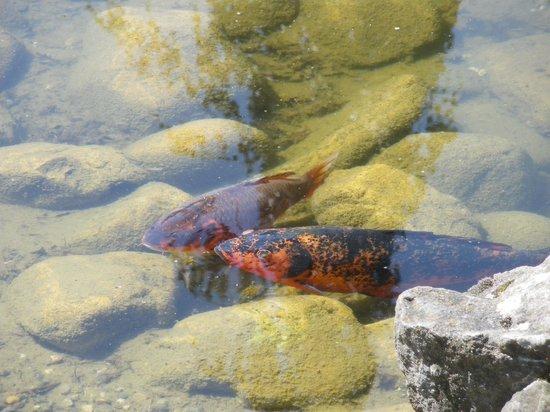 Kasugai Japanese Garden: Fish