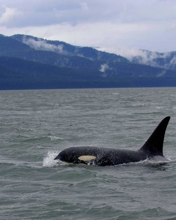 Bull Orca Picture Of Juneau Alaska Tripadvisor