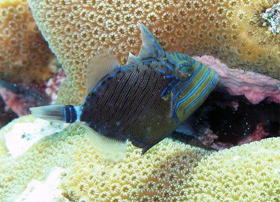 Kralendijk, Bonaire: Juvenile Queen Triggerfish