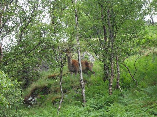 Lochaber Lodges: Deer seen on Ben Nevis Climb