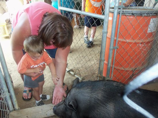 Infinity Acres Petting Ranch: Gracie The Pig