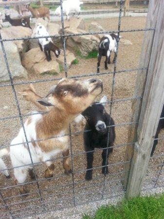 Living Treasures Animal Park: Crazy goats!
