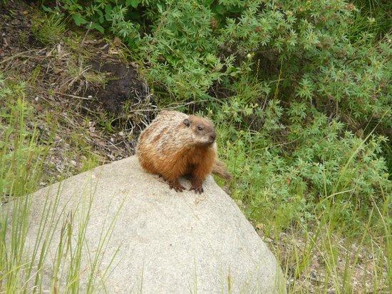 Lady Evelyn Falls Territorial Park : Marmot sunning himself!