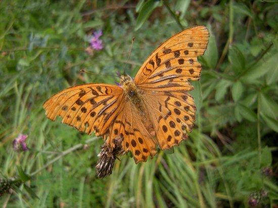 Giardino Botanico Alpino di Pietra Corva: farfalla