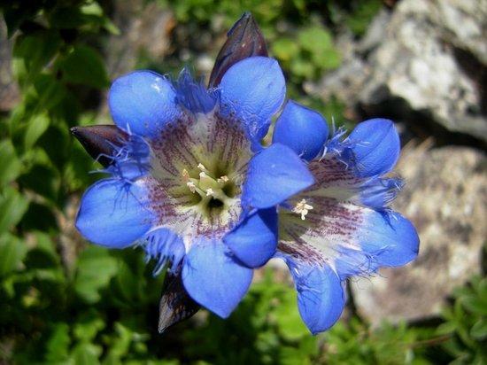 Giardino Botanico Alpino di Pietra Corva: genziane