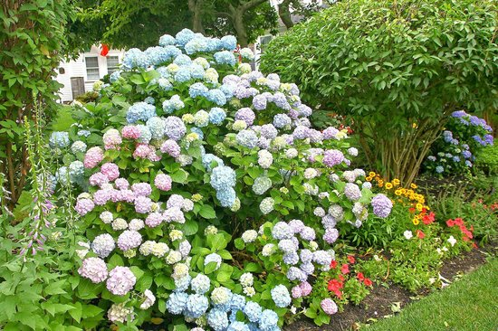 The Old Manse Inn: Beautiful hydrangeas