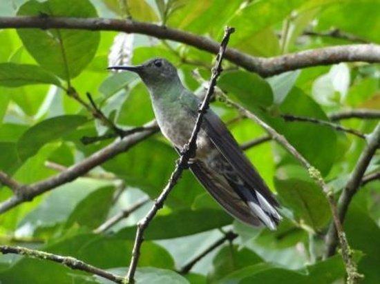 Laguna del Lagarto Lodge: Scaly-breasted Hummingbird