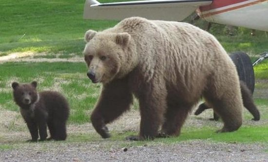 Alaska Homestead Lodge: Mama bear and her babies roaming outside the lodge