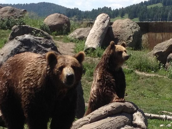 Montana Grizzly Encounter: Brutus & Lucy