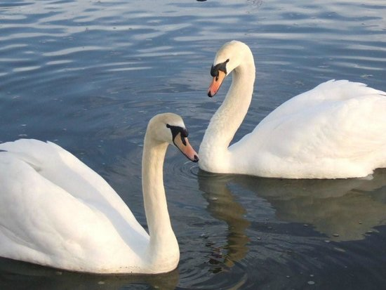 Silverstream Lodge: our beautiful swans there to welcome visitors as they enter our grounds