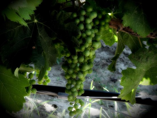 Nk'Mip Cellars: The grapes in the vineyard