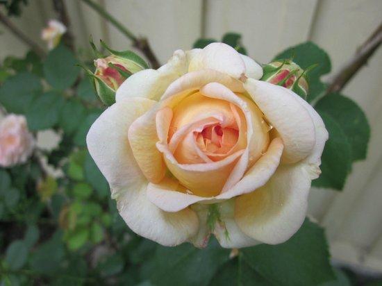Vildrosor och Höns: Fin rosenträdgård
