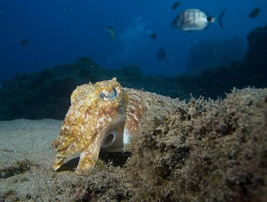 Manta Diving Lanzarote: Cuttlefish