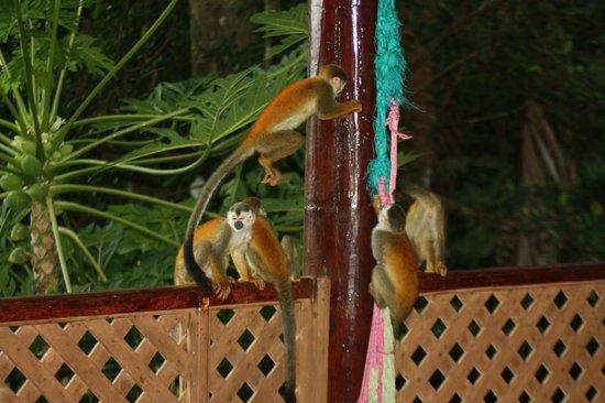 Jungle Villa: squirrel monkey on the porch