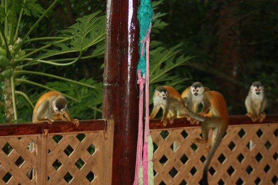 Jungle Villa: squirrel monkey