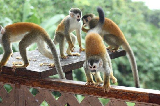 Jungle Villa: monkey