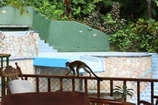Jungle Villa: capuchin monkey