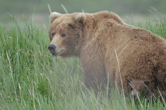 Of the many bears we saw picture of alaska bear adventures homer