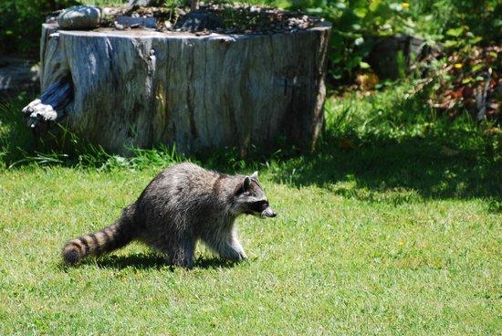 Tofino Motel HarbourView: Racoon in the garden