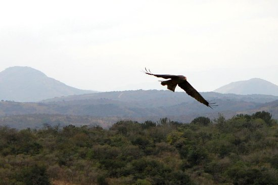 African Bird of Prey Sanctuary: Lainier falcon flying over the demo area