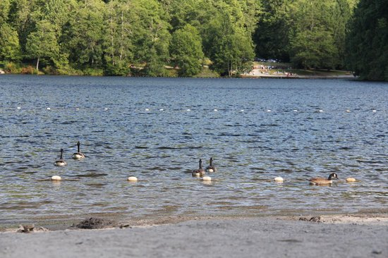 Alice Lake Provincial Park: The geese like the lake too.