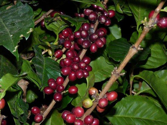 coffee plant planta de café picture of coffee n jungle night