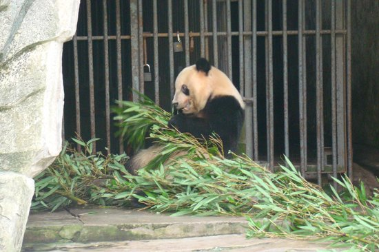 Chongqing Zoo (Chongqing Dongwuyuan): You You feeding on bamboo