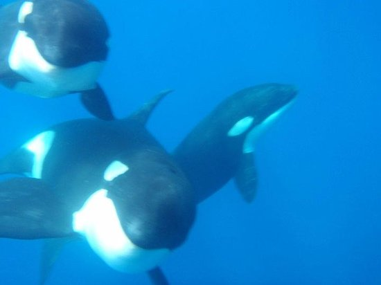 Bill Beard's Costa Rica : Orcas in Drake's Bay, Costa Rica