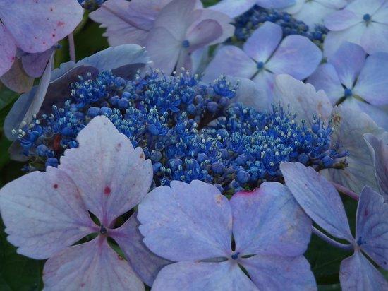 Holehird Gardens: Best shade of blue!